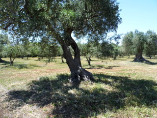 Land with olive trees, 4 km from the sea, it is possible to build a villa with swimming pool