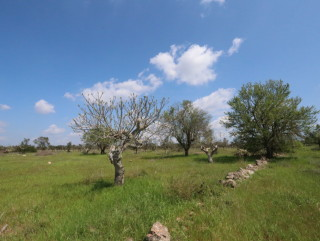 Building land, with olive trees, for villas with swimming pool 4 km from the sea