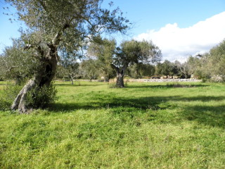 Pescoluse, Salve marina, olive grove + cottage project
