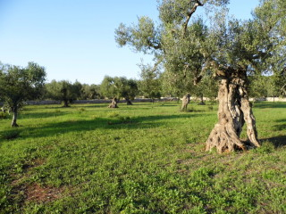 Patù, Agricultural land with olive trees for one or more villas
